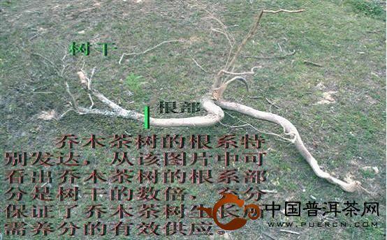 大叶种凤庆乔木茶树根系特别发达
