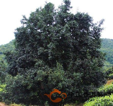 重返千家寨,大茶树 - 普洱茶故事