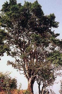 镇沅县 九甲乡千家寨的茶树情况 以及生态指数