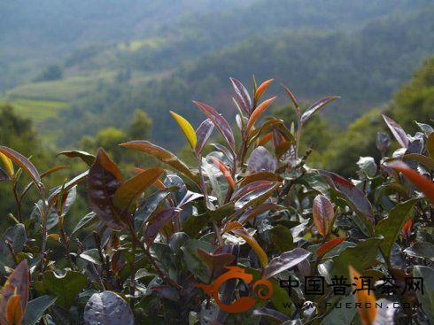野生茶和紫芽茶的特点及区别