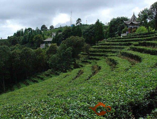 古树茶、台地茶、乔木茶的基本概念