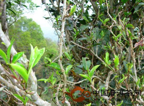 邦崴过渡型古茶树生长在海拔1900米的澜沧江富东乡