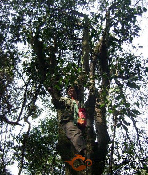 怎么分辨栽培型与野生茶?