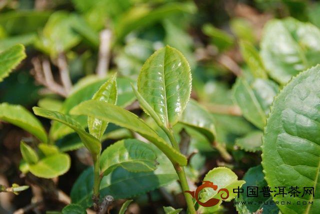 云南普洱茶山游走:南糯山茶农对古茶树的良苦用心