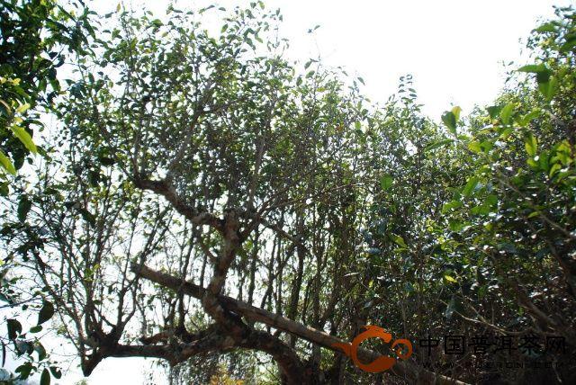 400多年的古茶树