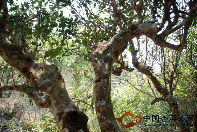 600多年的野生古茶树