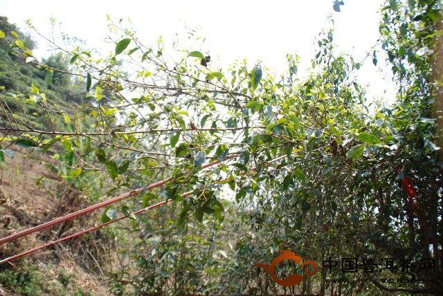 红绳子方便茶叶采摘