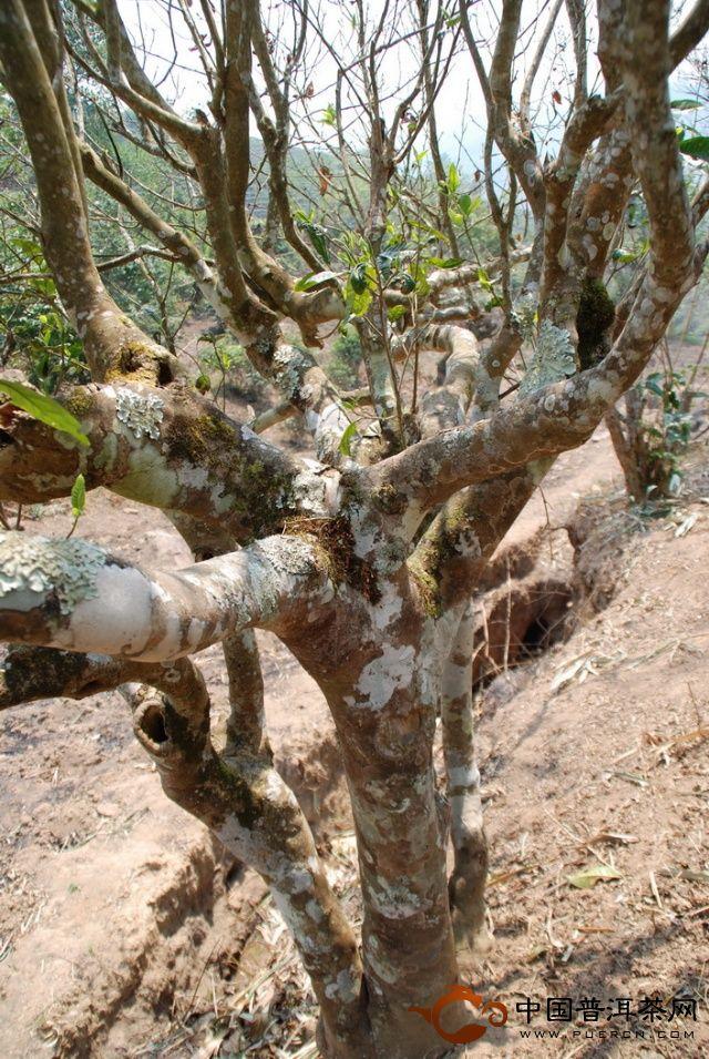 野生古茶树600多年
