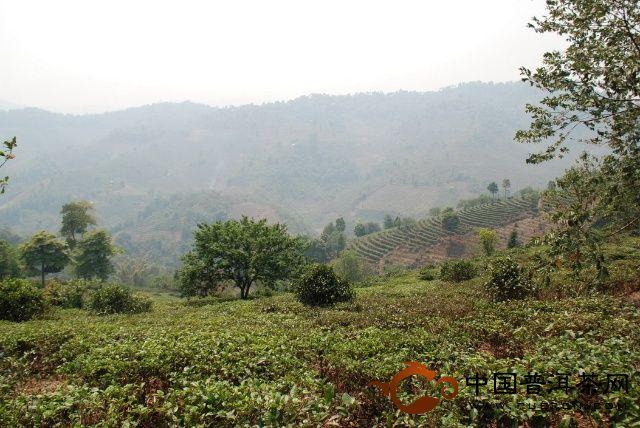 南糯普洱茶山:普洱茶树的人工矮化