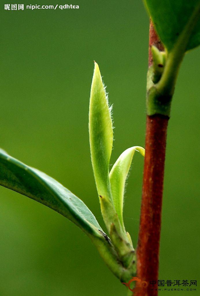 高产优质茶叶的栽培技术