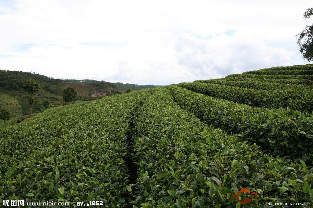 为什么种植绿茶要选择优良的绿茶品种