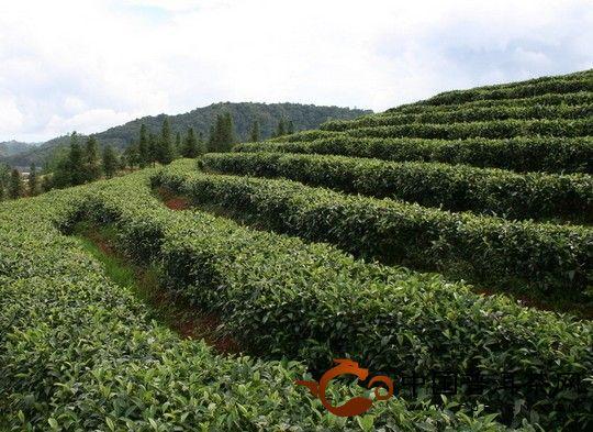 西双版纳基诺山茶厂