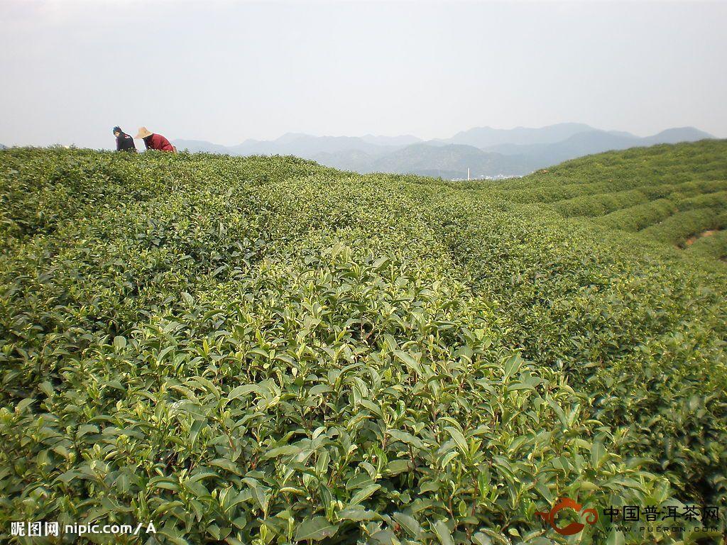 (1)塑料大棚园地选择     ①要求茶园树冠覆盖度在90%左右,品种