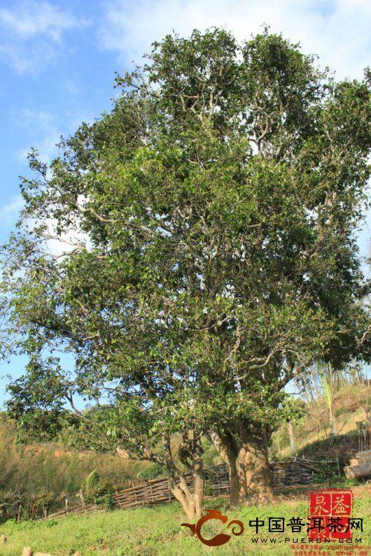普洱茶中的那些茶王树
