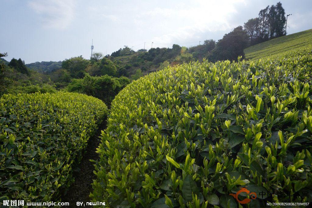 茶树是一种常见的灌木,但是不同的茶树也具有不同的生活习性,只有区别对待,才能得到优良的茶叶原料。茶树的分类及其生长习性。茶树为原产于中国及印度之常绿灌木。茶树属多年生木本植物,叶互生,具短柄,叶形有披针状、椭圆形、卵形及倒披针形。边缘具细锯齿,花白色而有芳香,蒴果扁球形,外有3纵棱,种子卵圆形、棕褐色.