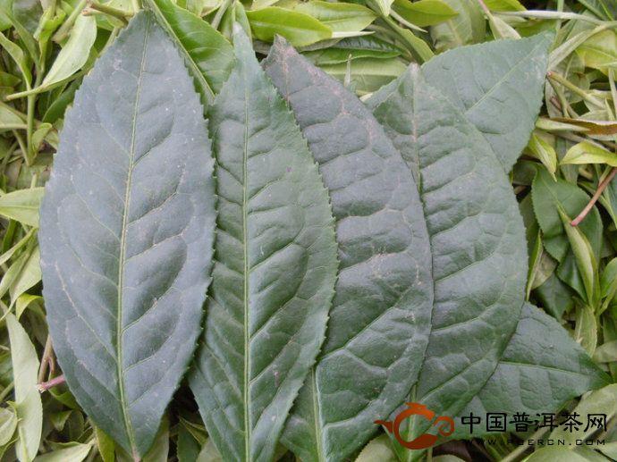 关于普洱茶的野生茶
