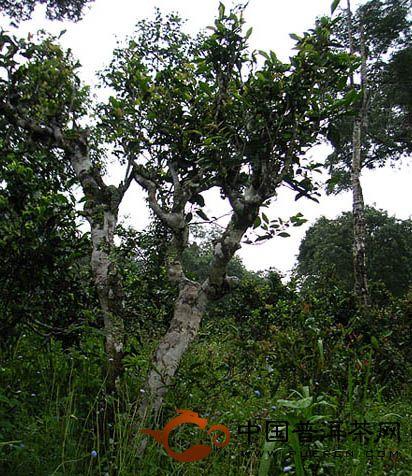 茶痴梦话普洱茶(三)昂贵的残枝枯叶——有生命的晒青毛茶