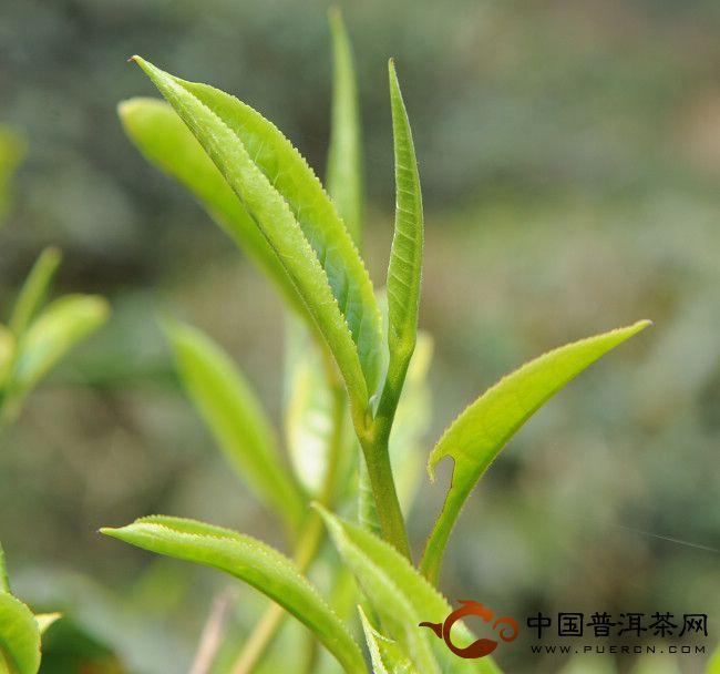 2013年云南古树茶头春茶芽
