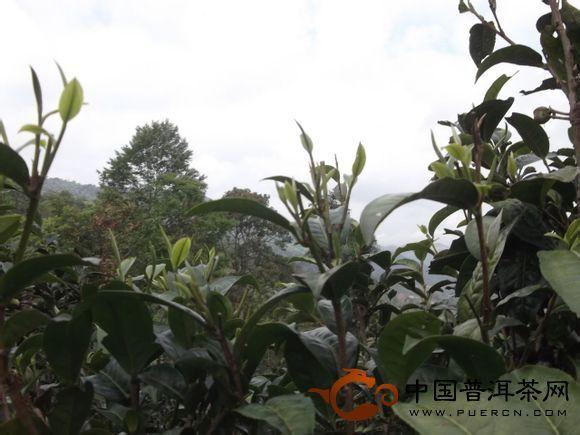 2013景迈之景迈生态春茶
