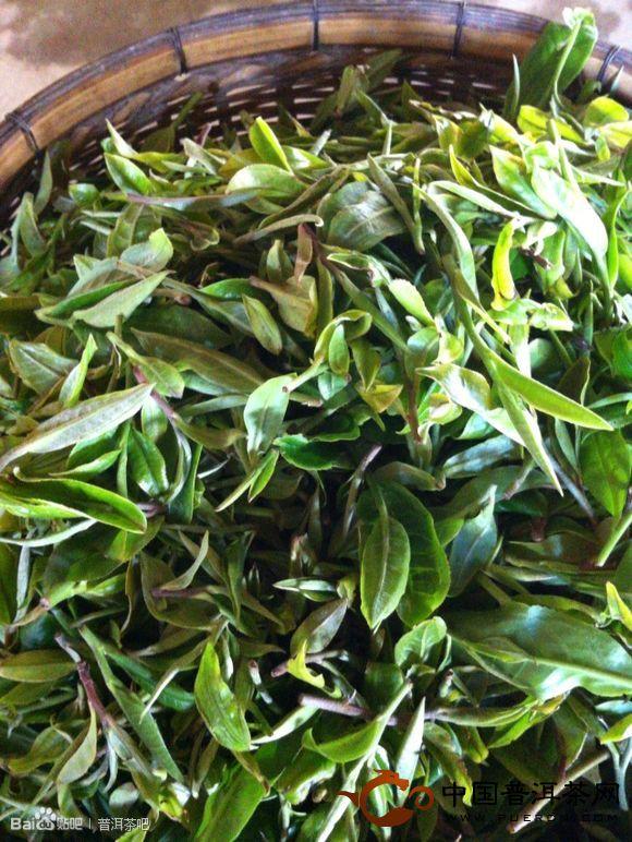 2013年古树春茶开采了