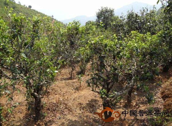 生态保护良好的临沧邦东普洱茶茶