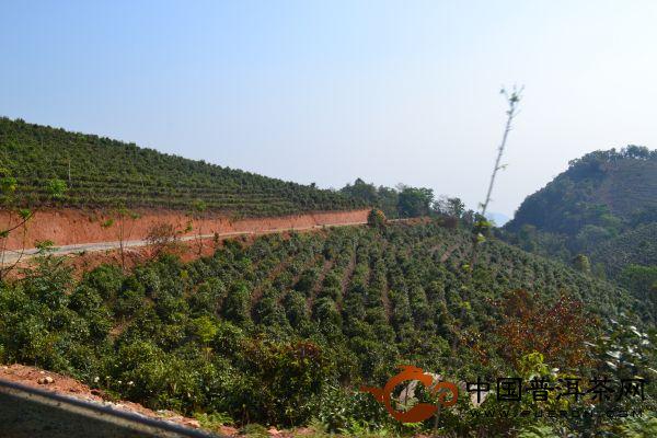 2013年茶山行之景迈生态茶园