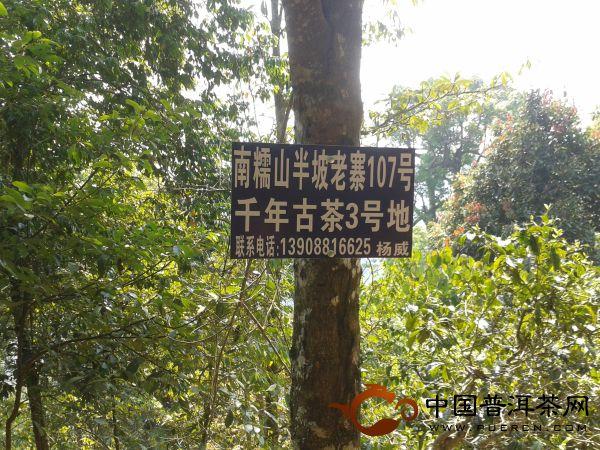 南糯山半坡老寨寻茶树王