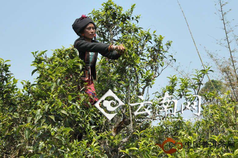 """第五届""""勐海茶王节""""暨布朗""""桑衎""""节4月9日举办"""