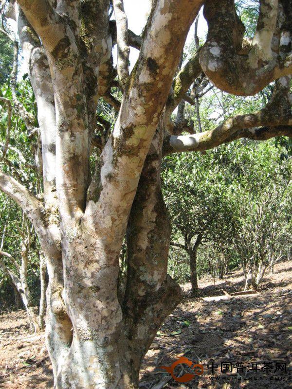 勐海老班章真正的茶王树分享