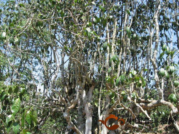 勐海老班章真正的茶王树