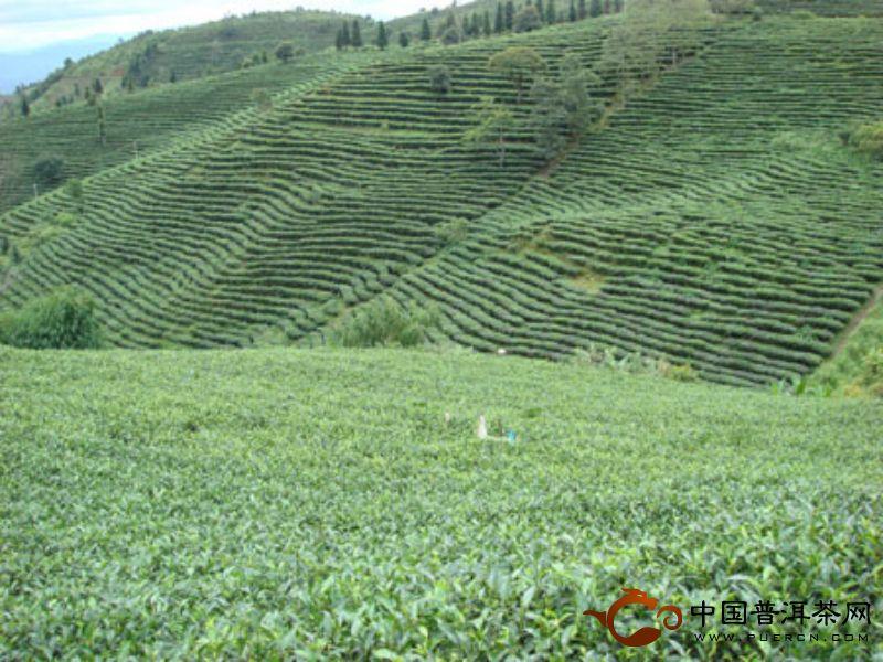勐海茶园茶