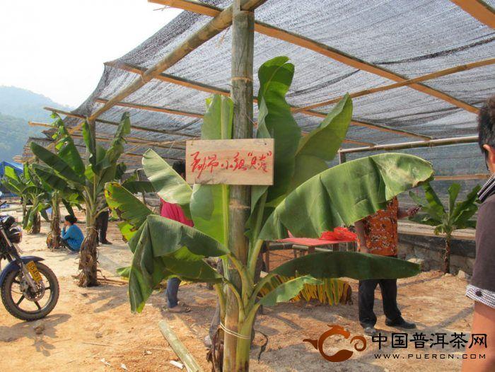 """2013年第五届勐海茶王节暨布朗""""桑衎""""节直播"""