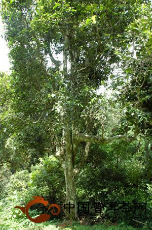 刮风寨古茶树