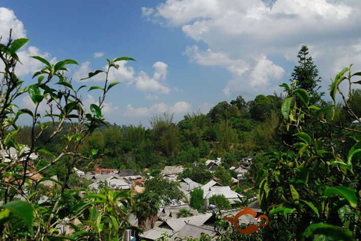 观点:古树茶保护陷入危机 树欲静而风不止