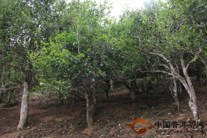 勐海茶区:帕沙古树茶图片