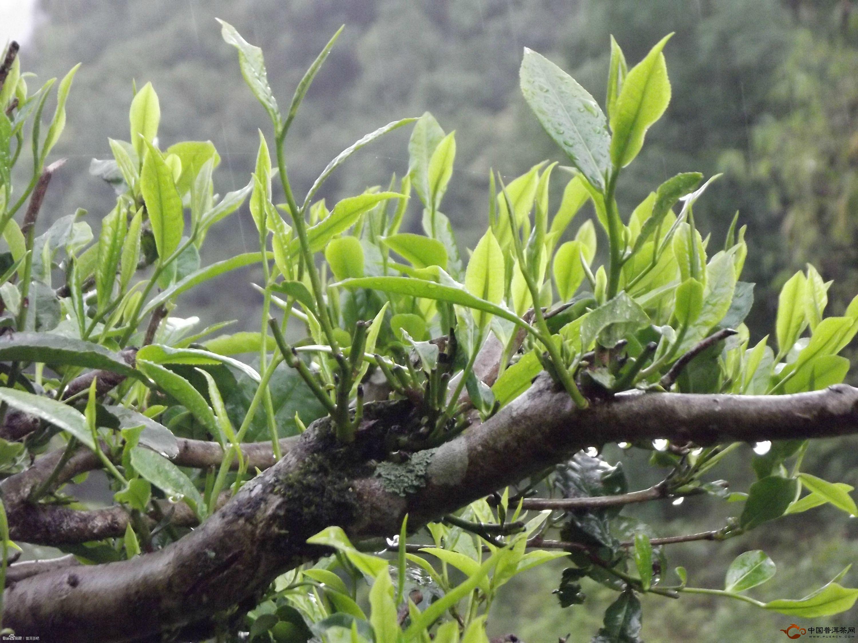 夏季,雨水中的普洱茶