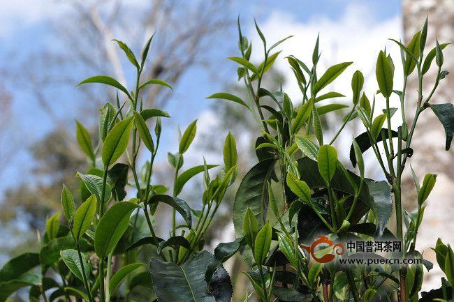 勐海老班章古树茶均价每年涨幅40%左右图片