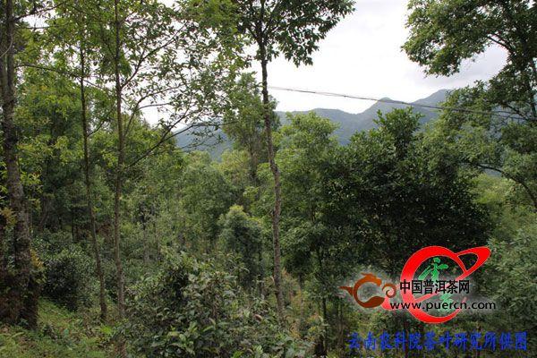 茶叶所专家到勐海县曼迈村民委员会开展技术服务