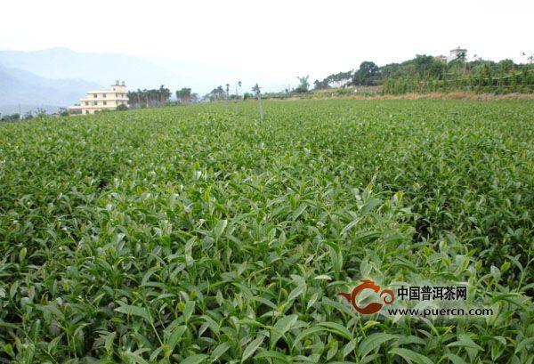 勐海班章正山茶厂