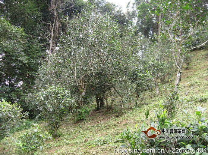 麻黑茶园普洱茶 - 普洱茶产地,普洱茶产区,云南是