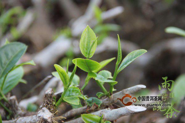 【益心泉·雨婷说茶】寻茶问源:茶源地勐海县组图