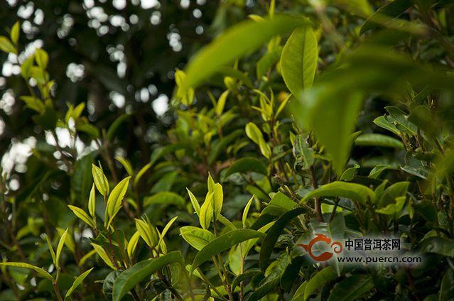 观点:普洱茶未来发展路线图
