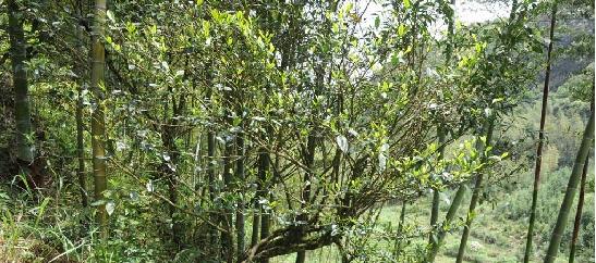 安溪发现野生茶树群 约有上百年历史(图)