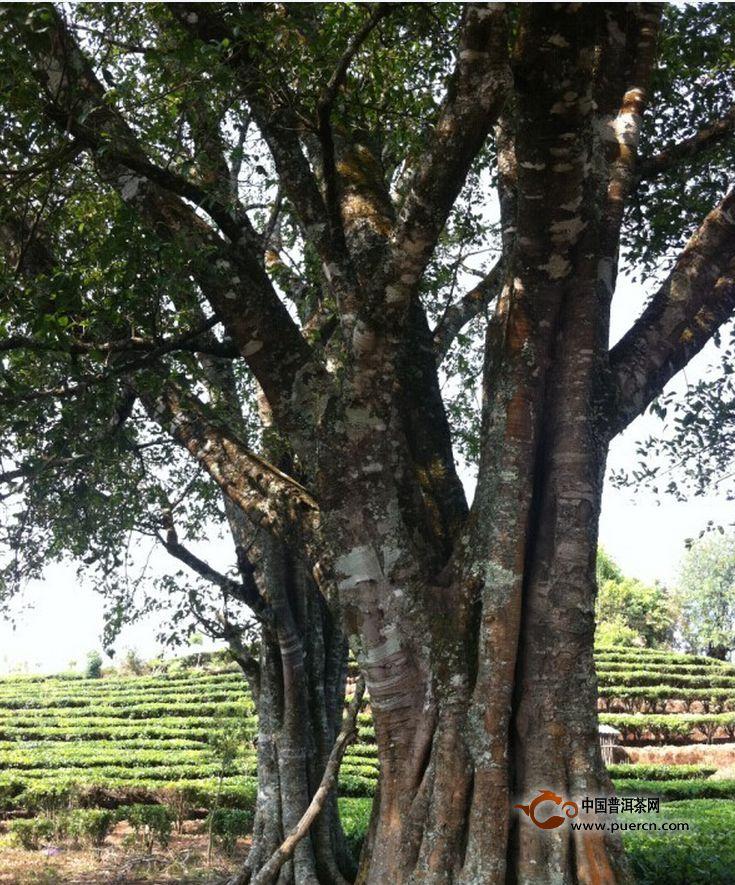千岛湖阅树