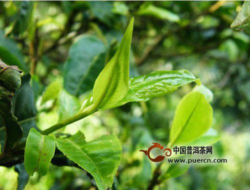 【趋势】普洱茶优质原料的拼配产品