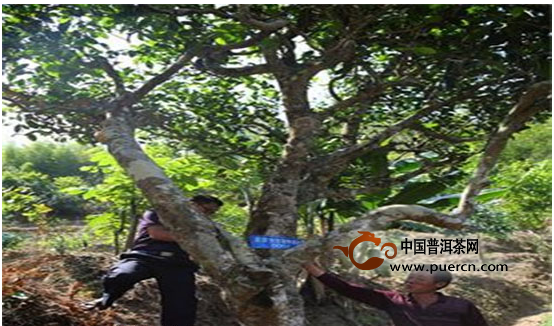 云县茶房乡对古茶树登记挂牌保护