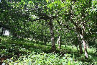 普洱茶投资分析:2014年6月古树茶行情简报