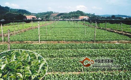 中国普洱茶网讯:根据2014年普洱市茶树苗木繁育推广情况调查,到目前为止出圃1015万株(袋),其中雪芽100号占80%,其余品种为短节白毫、紫娟、桃形叶及乌龙茶品种等。茶苗销售价格袋苗0.45~0.55元/袋,地苗0.25~0.30元/株。无性系茶树良种的繁育推广,进一步扩大了我市无性系良种面积,为育苗户增加了经济收入,也为无性系良种茶园的发展起到了示范辐射带动作用。