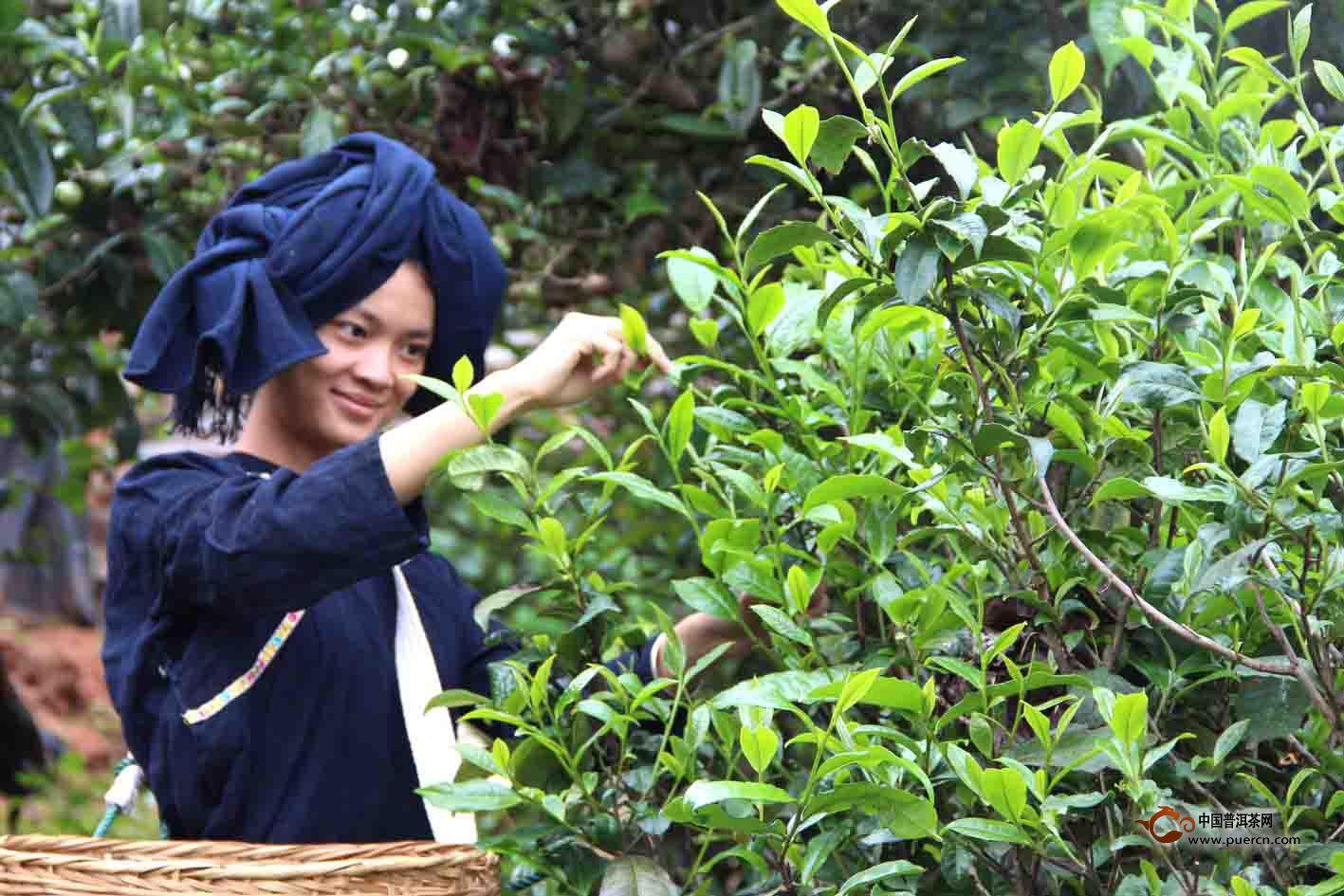 邦丙普洱茶区