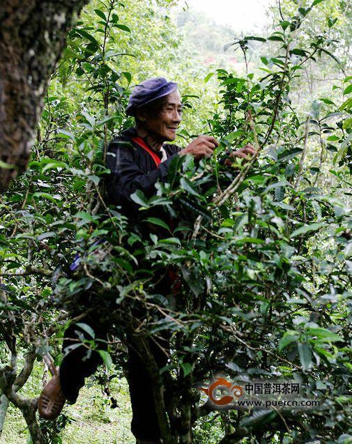 【普洱生活】一天一点普洱──世界最大最古老的茶园